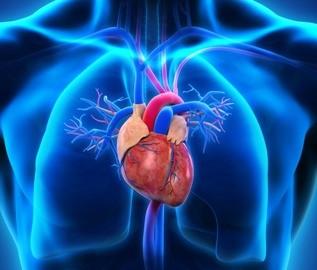 сердце в человеке