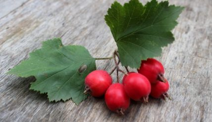 Боярышник – польза, лечебные свойства, противопоказания