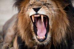 рычание льва