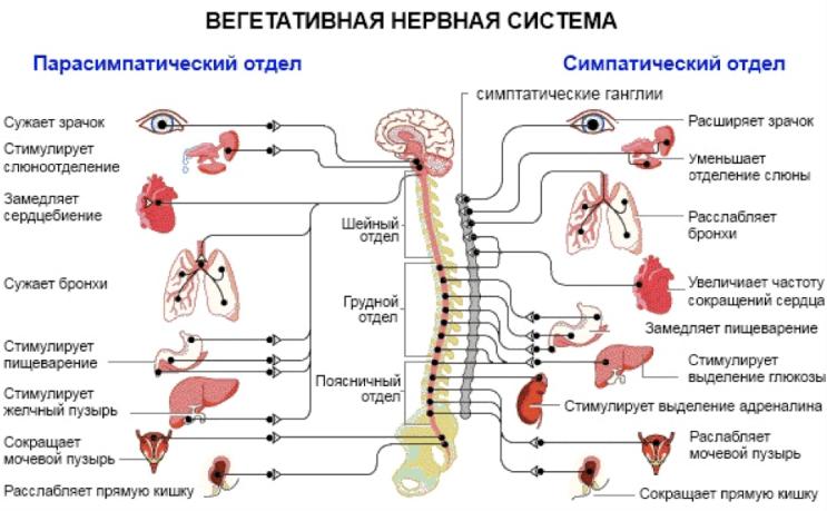 вегетативная нервная система человека