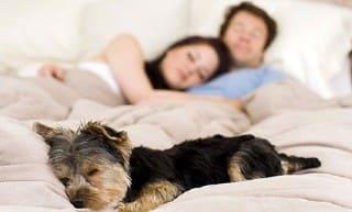 хозяева спят с собакой в одной постели